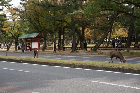 Free-roaming Deer in Nara