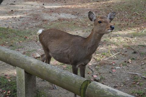 Cute Sacred Deer in Nara