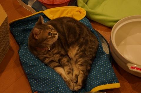 """Cute """"Do Not Pet"""" Cat at Hapineko"""