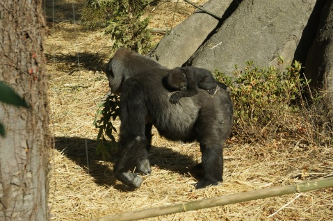Cute Baby Gorilla at Ueno Zoo