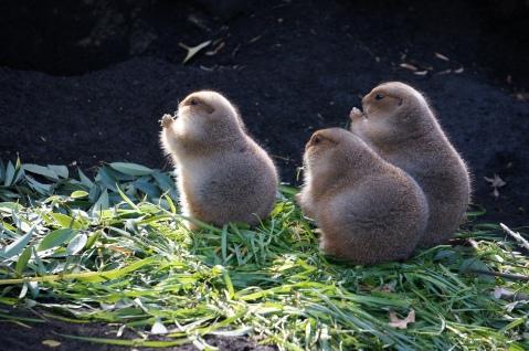 Ueno Zoo Prairie Dogs