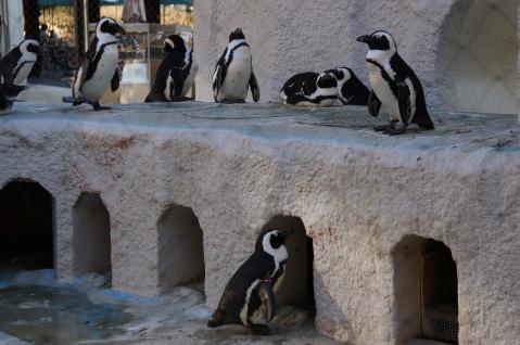 """Ueno Zoo """"Jackass"""" Penguins"""